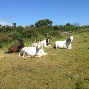 A rare site all 4 horses resting in the sunshine