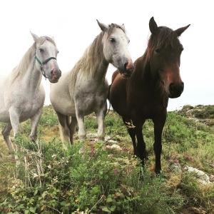 Irish Sport Horses