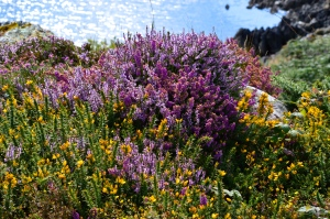 Part of the mosaic of Heather, gorse and ling.
