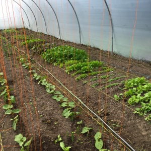 salads in a polytunnel