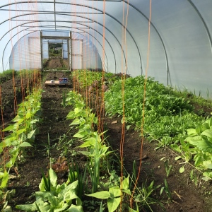 Bean plants growing well in tunnel 1 at Goleen Harbour Farm