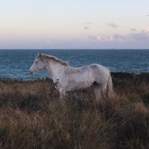 2 year old Blue Eyed Cream Connemara Filly Kildromin Olive
