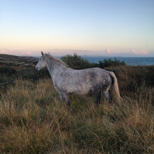 7 year old Connemara mare Kildromin Katie we need to change her name to avoid confusion.