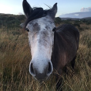2 year old Connemara Filly Kildromin Melon - what will we call her?