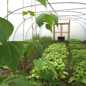 Our tunnels keep producing delicious veg thank's to Lea's hard work.