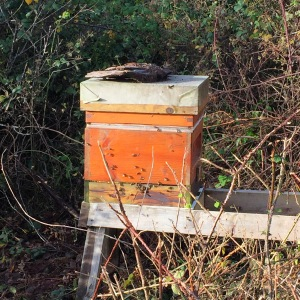 The sun bought the bees in one of the hives out todat for a forage.
