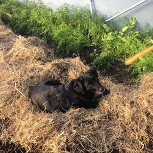dog on hay bed