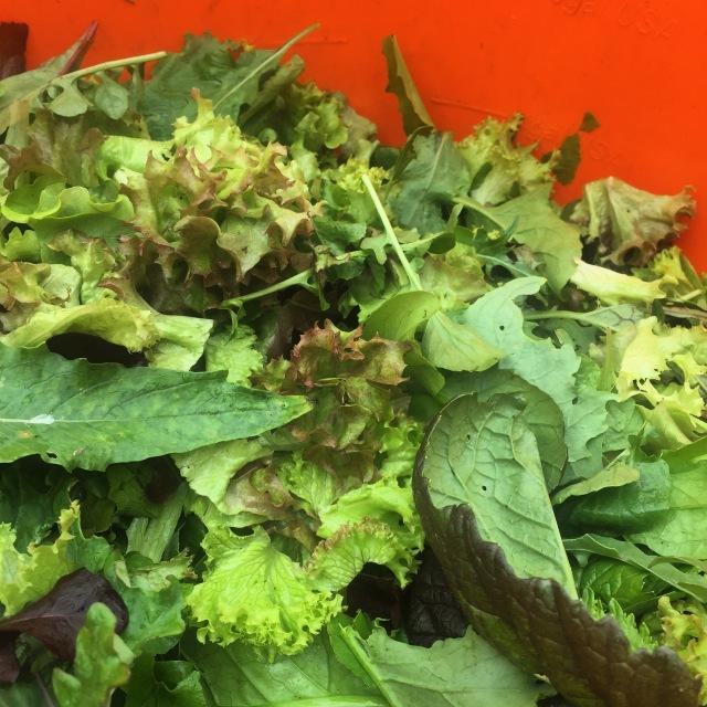 Salad harvesting @ Goleen Harbour Farm.