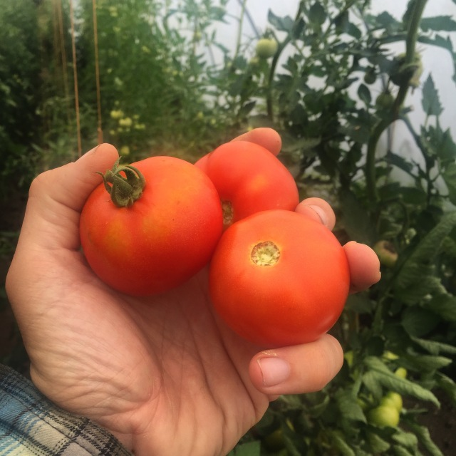 Harvesting tomatoes from our polytunnels @ Goleen Harbour Farm